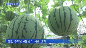 [경북] 앙증맞은 '애플 수박'…첫 수확