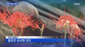 [전남] 붉게 물든 국내 최대 꽃밭…영광 '상사화' 활짝