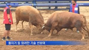[경북] 가장 센 소 가린다…청도 소싸움 개막
