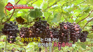 달콤한 향기 가득! 보랏빛 송의의 정체는 포도?!